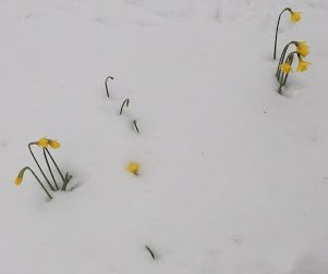 Daffs in the snow outside St Paul's, Manningham, Good Friday, 2013